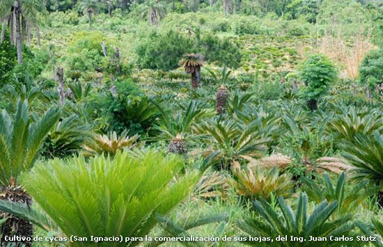 Misiones productora de plantas ornamentales y flores de corte Plantas tropicales interior