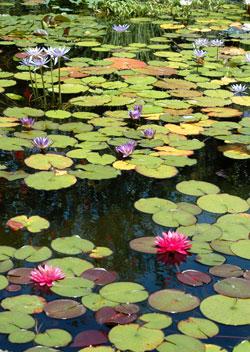 Floricultura proyectos de floricultura jard n acu tico for Jardin acuatico