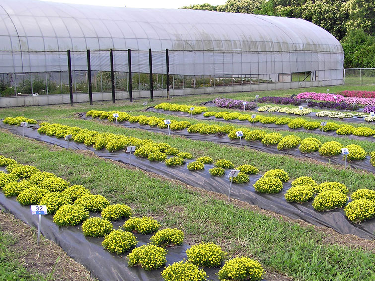 Mecardonia for Produccion de plantas ornamentales