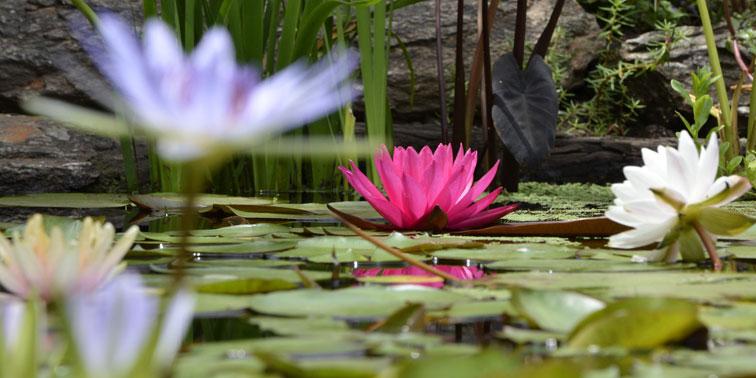 Plantas acu ticas c mo incorporarlas en los espacios verdes for Jardin acuatico