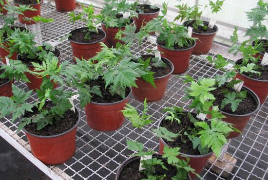 Producci n de plantas ornamentales helechos nativos for Produccion de plantas ornamentales