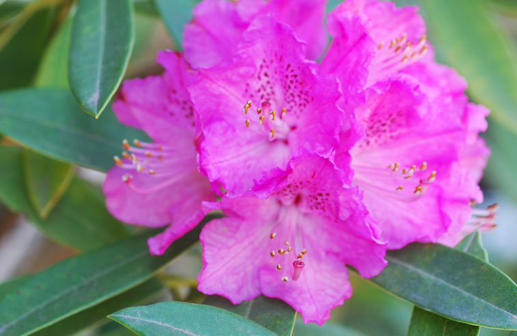 Rhododendron for Gramineas ornamentales vivero